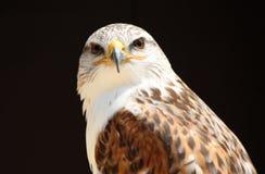 Feche acima da águia Fotos de Stock Royalty Free