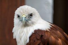 Feche acima da águia Fotos de Stock