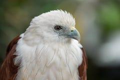 Feche acima da águia Imagem de Stock