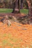 Feche acima da árvore conífera na floresta selvagem foto de stock