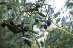 Feche acima da árvore de azeitona imagem de stock royalty free