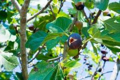 Feche acima da árvore de figo no verão no fundo do borrão imagem de stock royalty free