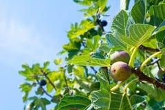 Feche acima da árvore de figo no verão no fundo do borrão imagem de stock