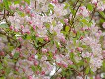 Feche acima da árvore de maçã de florescência Fotos de Stock Royalty Free