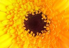 Feche acima da única dália amarela Imagens de Stock Royalty Free