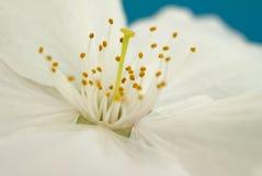 Feche acima da única flor branca da flor da mola Imagens de Stock