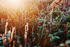 Feche acima da airela da geada na montanha com luz do sol Fotografia de Stock Royalty Free