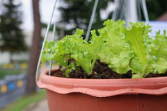 Feche acima da alface no vaso de flores de suspensão Fotografia de Stock