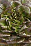 Feche acima da alface vermelha fresca de Salanova Imagens de Stock Royalty Free