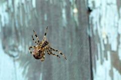 Feche acima da aranha do diadematus do Araneus fotografia de stock