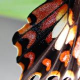 Feche acima da asa da borboleta fotos de stock