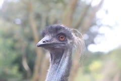 Feche acima da avestruz Imagens de Stock Royalty Free