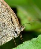 Feche acima da borboleta Imagem de Stock