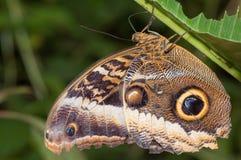 Feche acima da borboleta do eurilochus de Caligo Fotografia de Stock Royalty Free