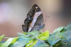 Feche acima da borboleta em uma folha imagem de stock
