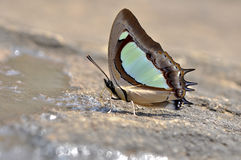 Feche acima da borboleta que come minerais na terra na natureza Fotografia de Stock