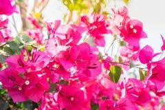 Feche acima da buganvília roxa Fotos de Stock