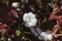 Feche acima da cápsula do algodão Vale de Omo etiópia Fotografia de Stock Royalty Free