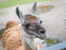 Feche acima da cabeça bonito da Lama com esperança nos olhos imagem de stock royalty free