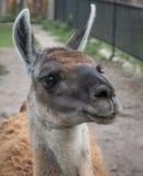 Feche acima da cabeça bonito da Lama com esperança nos olhos fotos de stock