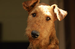 Feche acima da cabeça da cara do cão da pedigree de Airedale Terrier do retrato Fotografia de Stock Royalty Free