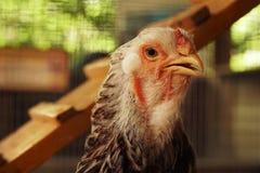 Feche acima da cabeça da galinha Imagem de Stock Royalty Free
