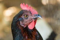 Feche acima da cabeça da galinha Imagens de Stock Royalty Free