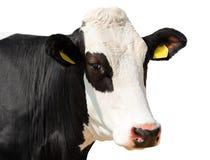 Feche acima da cabeça da vaca isolada no branco Fotos de Stock