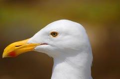 Feche acima da cabeça das gaivotas Foto de Stock