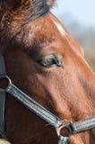 Feche acima da cabeça de cavalo marrom Fotos de Stock Royalty Free