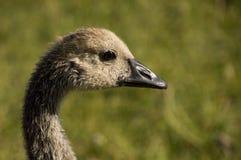 Feche acima da cabeça de um ganso canadense Gosling Imagens de Stock