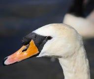 Feche acima da cabeça de uma cisne (o perfil) Imagem de Stock Royalty Free