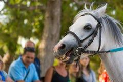 Feche acima da cabeça do cavalo branco no fundo do borrão no Eq foto de stock royalty free