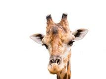 Feche acima da cabeça do girafa isolada Foto de Stock