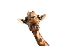 Feche acima da cabeça do girafa no branco Fotos de Stock