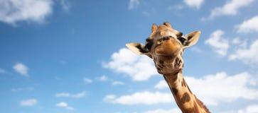 Feche acima da cabeça do girafa no branco Imagens de Stock Royalty Free