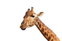 Feche acima da cabeça do giraffe Imagem de Stock Royalty Free
