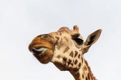 Feche acima da cabeça do giraffe Fotos de Stock Royalty Free