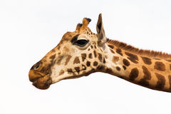 Feche acima da cabeça do giraffe Fotos de Stock