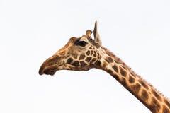 Feche acima da cabeça do giraffe Imagens de Stock Royalty Free