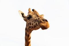 Feche acima da cabeça do giraffe Imagem de Stock