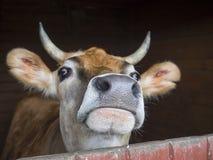 Feche acima da cabeça do touro novo bonito do gengibre que olha da tenda, Imagem de Stock