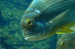 Feche acima da cabeça e das aletas dos peixes Imagem de Stock