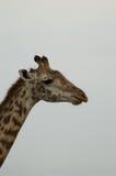 Feche acima da cabeça e do pescoço de um girafa no perfil Fotos de Stock