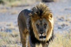 Feche acima da cara de um leão masculino Fotografia de Stock