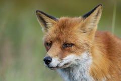 Feche acima da cara de um vulpe europeu do Vulpes da raposa vermelha olhar fixamente imagem de stock