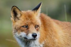 Feche acima da cara de um vulpe europeu do Vulpes da raposa vermelha olhar fixamente fotos de stock