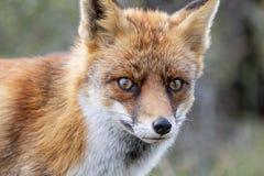 Feche acima da cara de um vulpe europeu do Vulpes da raposa vermelha olhar fixamente fotografia de stock