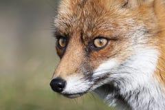 Feche acima da cara de um vulpe europeu do Vulpes da raposa vermelha olhar fixamente fotografia de stock royalty free