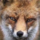 Feche acima da cara de um vulpe europeu do Vulpes da raposa vermelha olhar fixamente fotos de stock royalty free